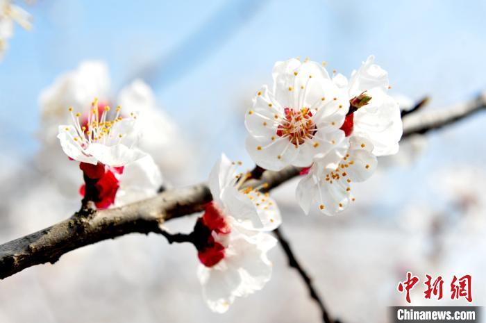 """隆冬向暖春递进:""""二十四番花信风""""有何讲究?"""