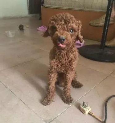 网友去外地出差,把泰迪放在家里,一只狗独自生活了14天