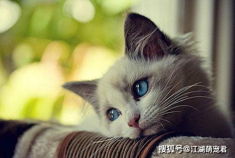 原创 猫咪对主人的爱可分5个品级,能拿到4级就是人生赢家,你是几级?