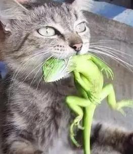 花20块买的猫,竟然把身价上千的绿蜥咬死了,主人已哭晕在茅厕
