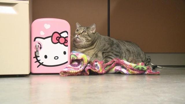 这可能是世界上最重的猫咪了,体重堪比一名三岁儿童