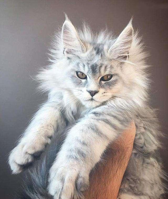 """原创 """"喵中巨人""""之缅因猫,你以为只是个大块头?它却是个王者"""