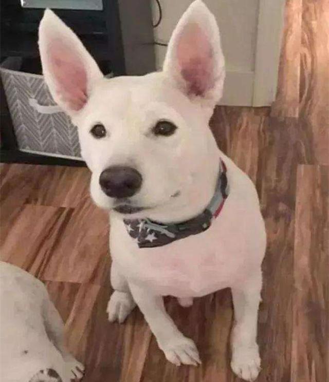 原创 铲屎官养了一只狗狗,容貌像兔又像猪,路人:这事实是什么狗
