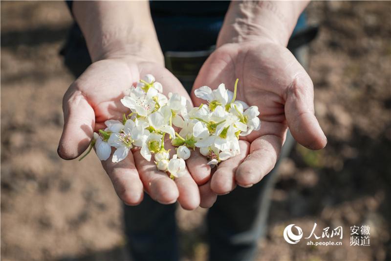 """一只砀山酥梨的自述:我是若何从""""花""""酿成""""果""""的?"""