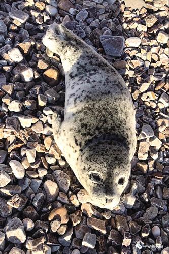大连又一只斑海豹幼崽搁浅 专家:或与气温回暖早有关