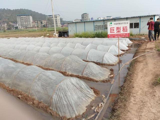 荣县试种1000亩巨型稻