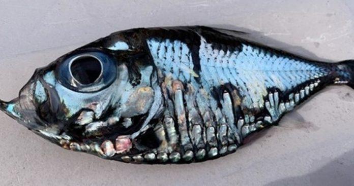 """外形很有艺术感 渔民捕获罕见""""毕加索鱼"""""""