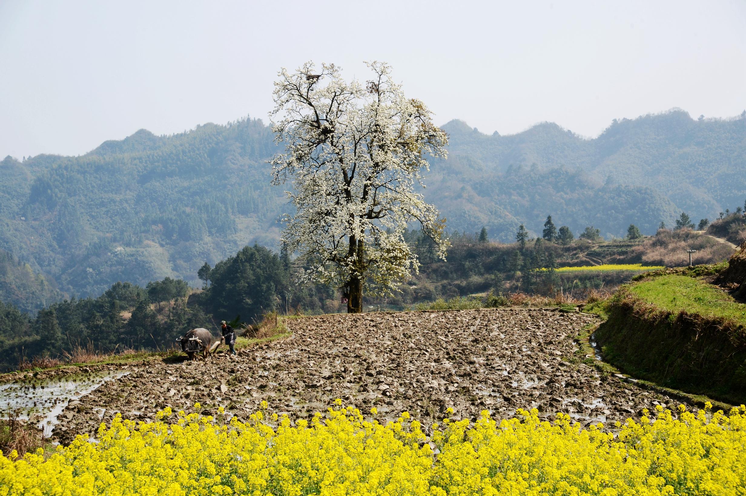 张家界武陵源:千年梨树开花 十里春风为马,真是壮世奇观