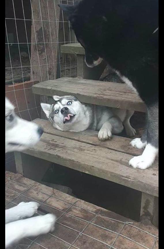 哈士奇@却缩不回去了,二哈:我错了,哈士奇把头伸出楼梯间隙挑衅别的狗
