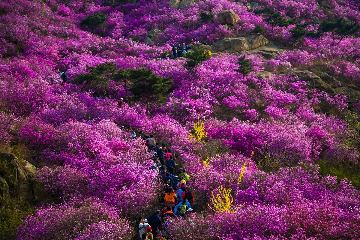 原创             万亩野生杜鹃迎春盛放,青岛这个地方美爆了,飞霞流丹美成仙境
