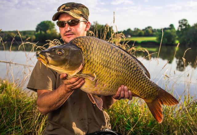 """鲤鱼入侵全球:在英国胖得像""""猪"""",在中国为什么""""活""""不过童年"""