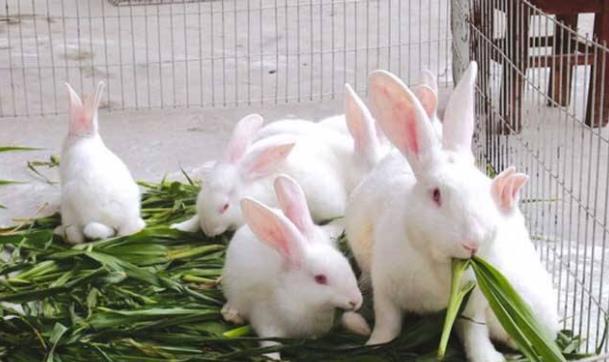 养小兔子的同伙,可能会见过兔子刨饲料,这是什么原因呢