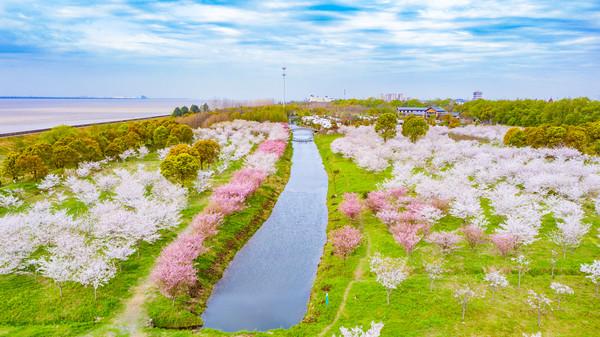 原创             浙江最美的樱花林,6000余株竞相开放,犹如童话世界