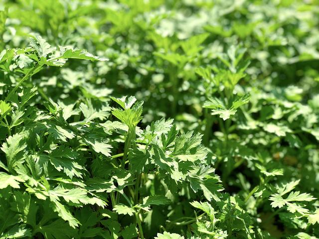 清明做青团少不了这野草,趁着鲜嫩快储存起来,一年四季都能用上