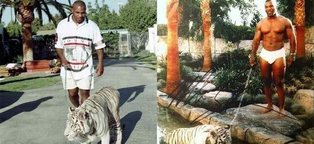 原创 拳王泰森爆料:自己昔时饲养的老虎,曾险些吃掉一名妇女!