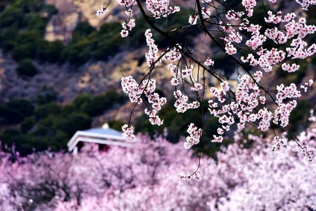 四月的林芝,荒了一冬的桃花枝干,开出一片粉红