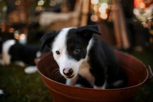 狗狗发育缓慢,体型比同龄犬小不止是营养不良,也可能是门脉短路