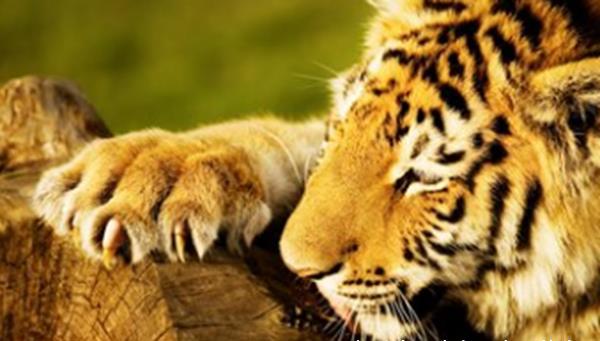老虎的十大特征及作用 能治愈疾病,夜视能力是人的6倍