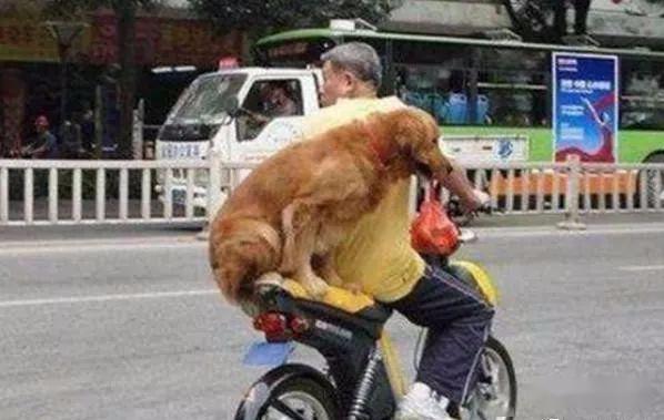 金毛坐电动紧抓主人,嘴里还叼这玩意,路人性:这狗莫非要成精!