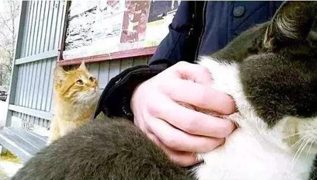 原创 远看男子在撸猫,可旁边的橘猫却让人以为难受:也可以抱抱我吗?