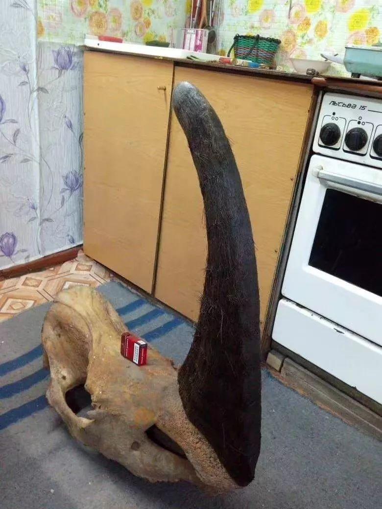 亚洲犀角全都不能买卖吗?不!披毛犀角可以!