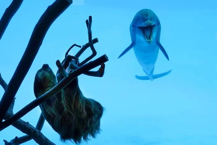樹懶因行動緩慢被挑著參觀水族館 海豚看到它超興奮還模仿倒立