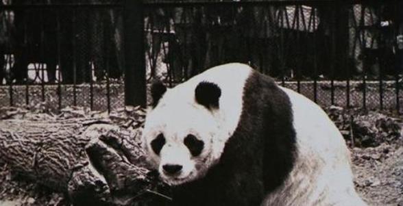 熊猫我国国宝,可少有人知,有两只熊猫不属于我国且永远无法回国