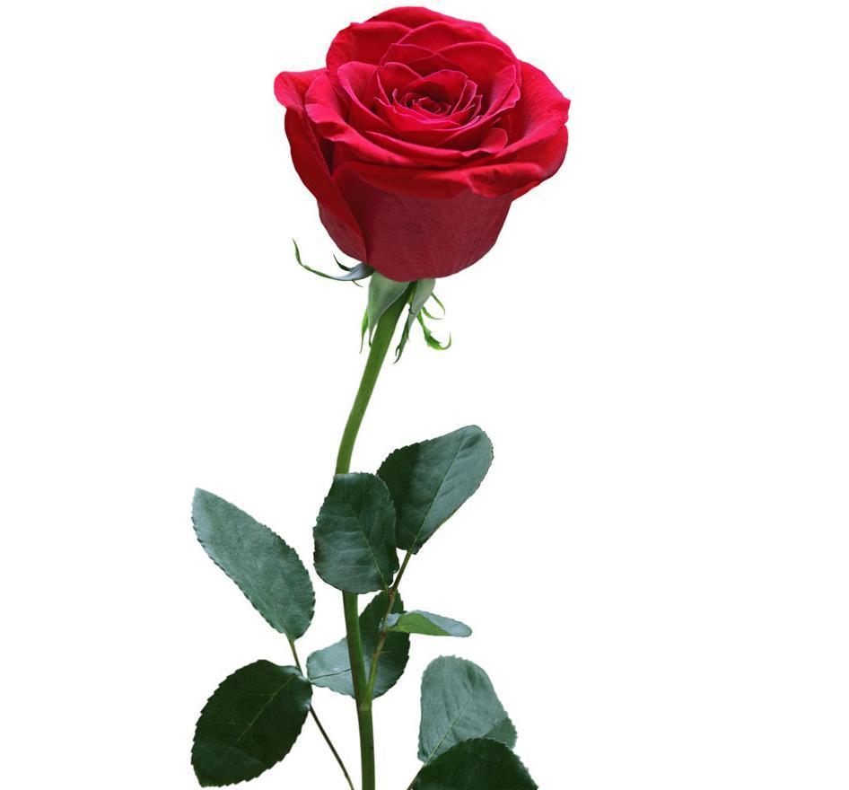 带刺的玫瑰图片 5张 (天堂图片网)