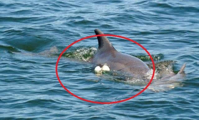 原创 海豚一直倘佯在水面迟迟不愿脱离,靠近后马上鼻尖一酸
