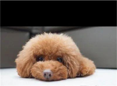 狗子在床上大便,被克制到房间睡觉,于是它…