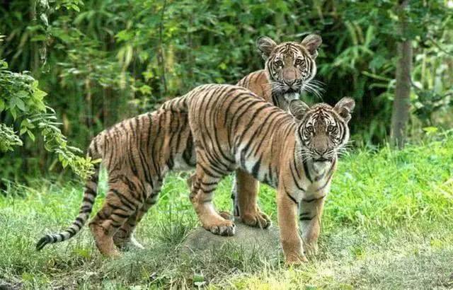 纽约一4岁老虎确诊熏染新冠病毒,动物园证实