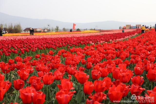 原创            洛阳春天,这里千万株郁金香开成花海,芝樱花开漫山遍野