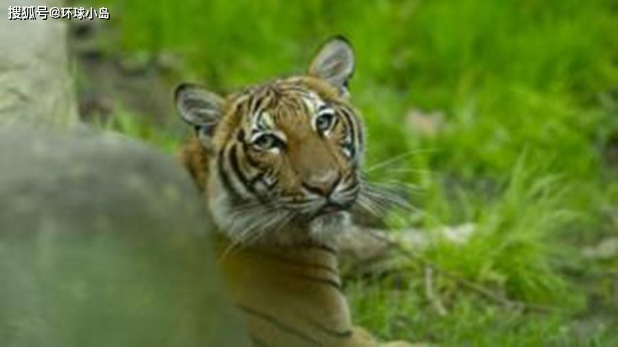 美国被人熏染的第一只动物是只老虎,那动物会不会熏染人呢?