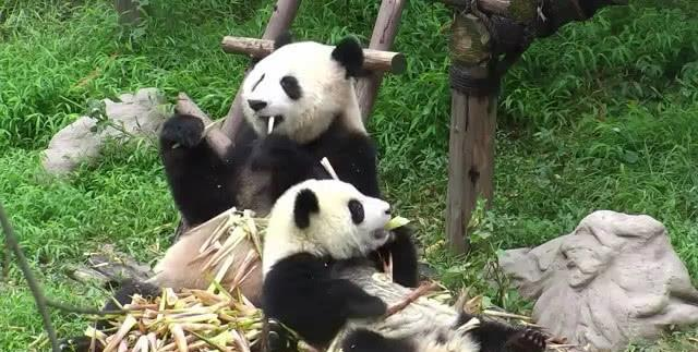 原创 熊猫母子一起啃竹子,效果熊妈的行为看呆娃,网友:是捡来的吧