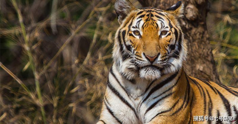 原创 老虎为什么是百兽之王?看看剃毛后的老虎与藏獒的差异,就知道了