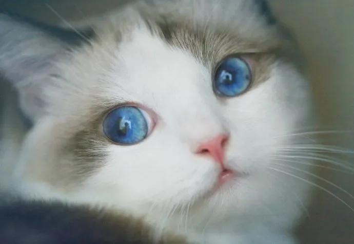 """猫咪的眼睛为什么有多种多样的颜色?为你揭秘神奇的""""猫眼"""" (图8)"""