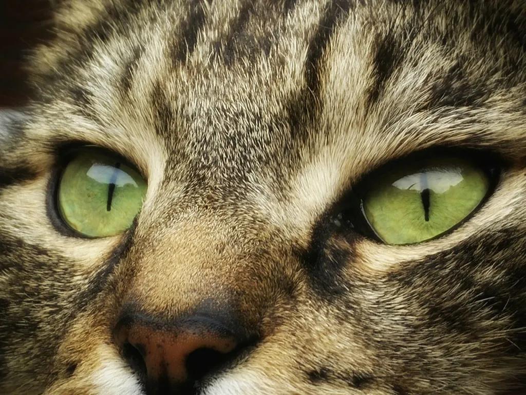 """猫咪的眼睛为什么有多种多样的颜色?为你揭秘神奇的""""猫眼"""" (图7)"""