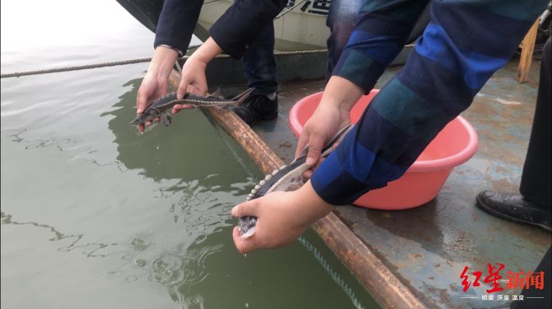 """救助""""水中大熊猫""""!四川宜宾一巡护队发现两尾长江鲟被困非法渔网"""