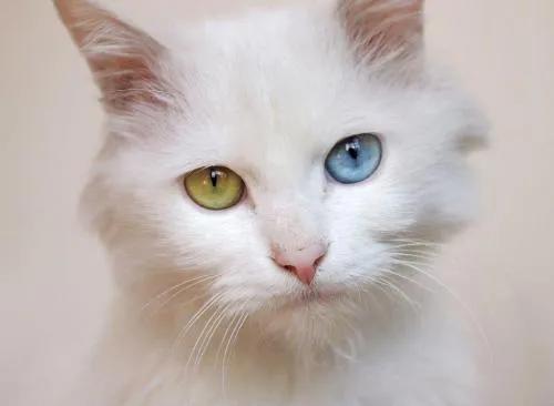 """猫咪的眼睛为什么有多种多样的颜色?为你揭秘神奇的""""猫眼"""" (图10)"""