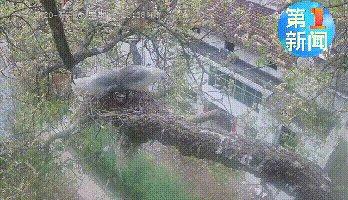 陜西漢中17歲朱鹮產卵,有望打破朱鹮野外繁殖年齡記錄