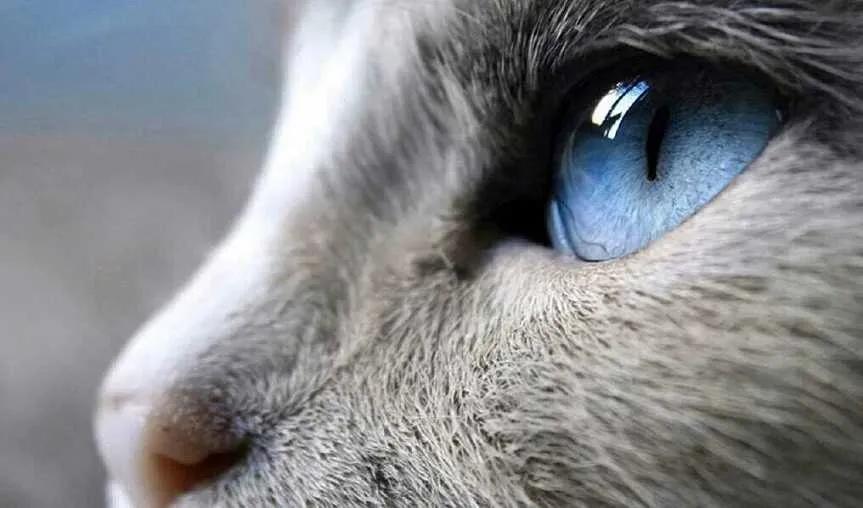 """猫咪的眼睛为什么有多种多样的颜色?为你揭秘神奇的""""猫眼"""" (图4)"""