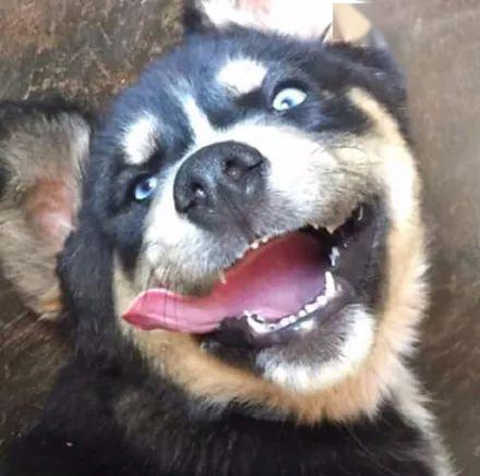 男子发文求判定二哈的私生子,可网友看到狗子的长相后,全笑疯了!