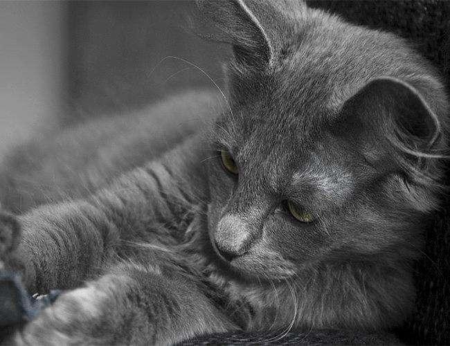 内华达猫多少钱图片