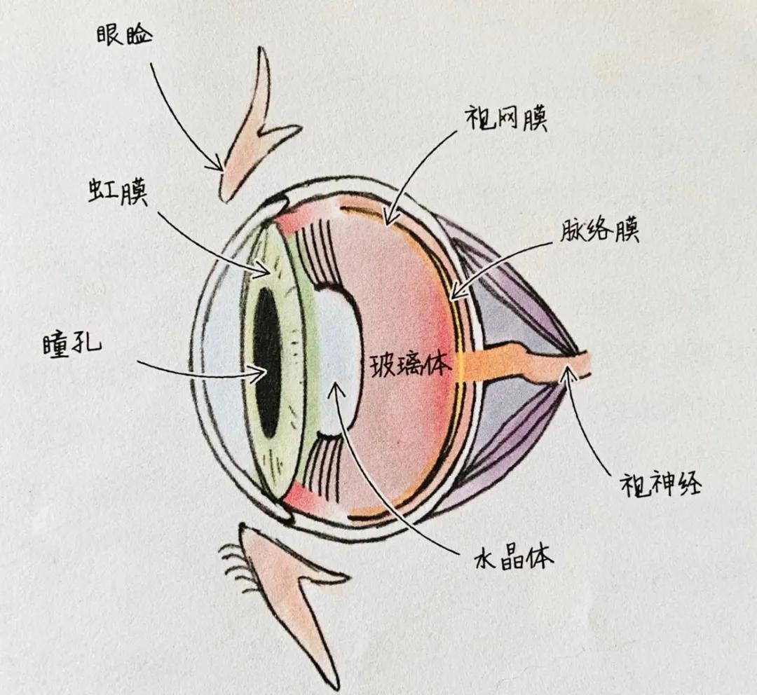 """猫咪的眼睛为什么有多种多样的颜色?为你揭秘神奇的""""猫眼"""" (图6)"""