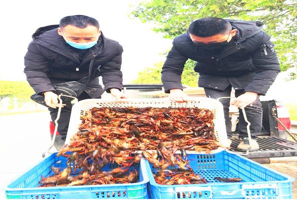 湖北监利水产之乡每天20多吨小龙虾 销往全国各地
