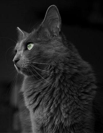 内华达猫和英短图片
