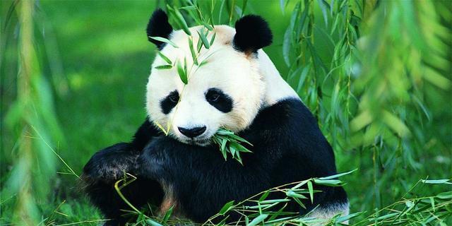 大熊猫用上人脸识别 你分得清大熊猫的脸吗?