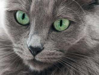 内华达猫黑色图片