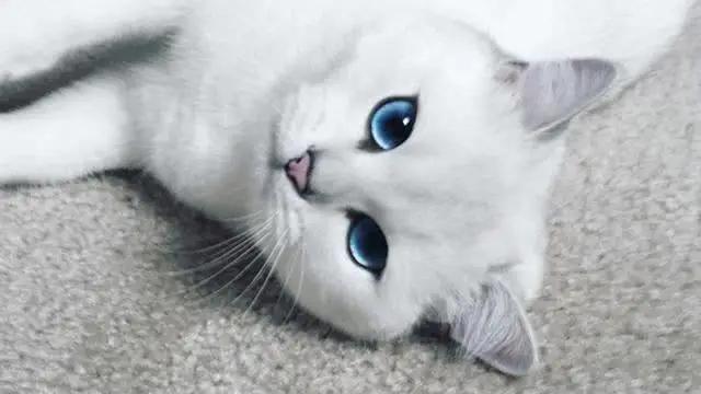 """猫咪的眼睛为什么有多种多样的颜色?为你揭秘神奇的""""猫眼"""" (图5)"""