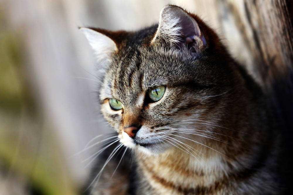 猫科系老虎已在美国被熏染,可你知道下一个动物是什么吗